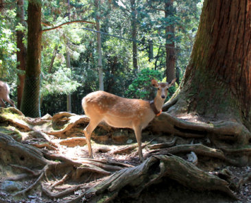 Things to do in Nara, Japan deer park
